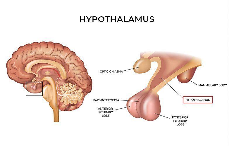 Hypothalamus Hunger