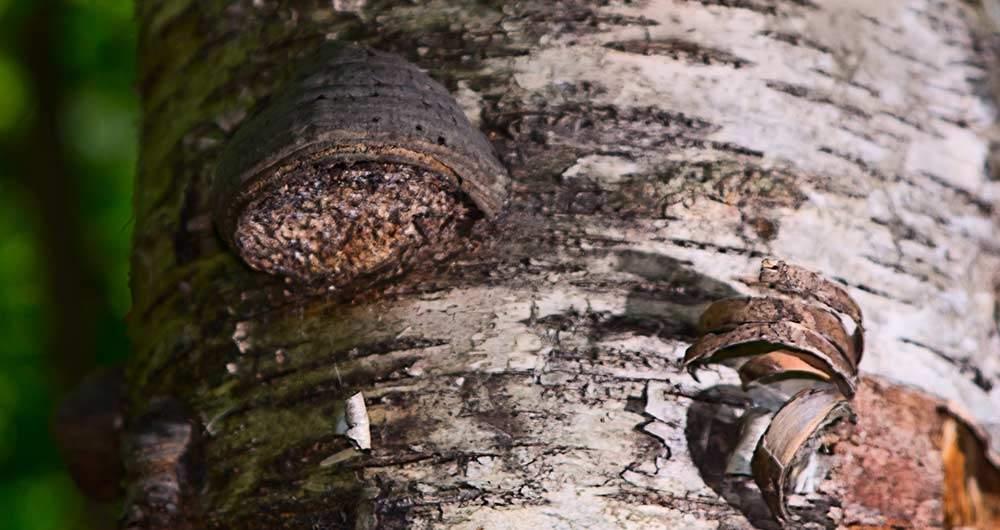 chaga mushroom health benefits