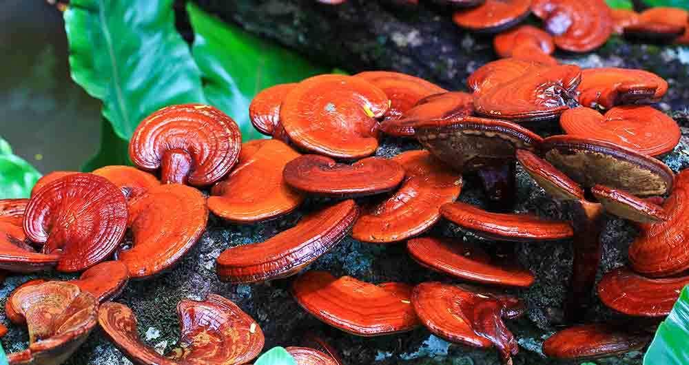 reishi mushroom health benefits
